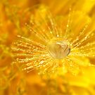 Golden Dandelion Drops by Gazart