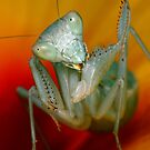 Mantidae by jimmy hoffman
