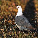 White Headed Pigeon. Cedar Creek, Queensland, Australia. (2) by Ralph de Zilva