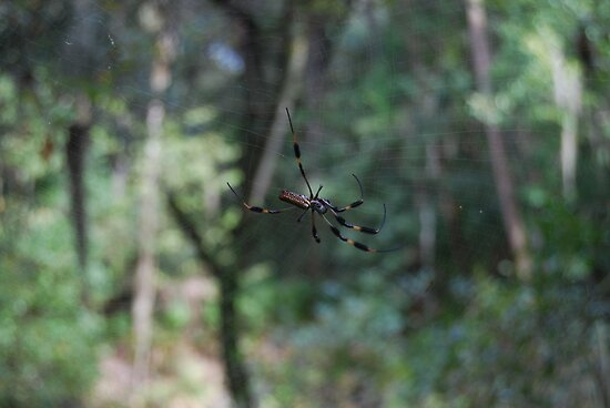 Spider, Hillsboro River State Park by Shanklinthomas