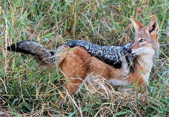 BLACK-BACKED JACKAL – Canis mesomelas – Rooijakkals by Magaret Meintjes