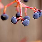 Fall Grapes by Karen Jayne Yousse