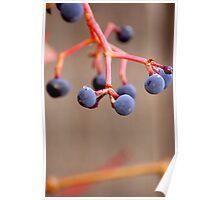 Fall Grapes Poster