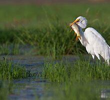 Great Egret with breakfast by Bryan  Keil