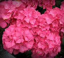Crowns of Glory - Beautiful Hydrangea Blossoms by MidnightMelody