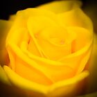 Yellow Rose by jmnowak