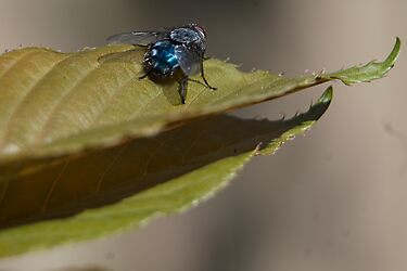 Shy Fly by Barry Doherty
