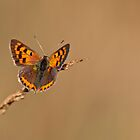 Lycaena phlaeas by Csar Torres