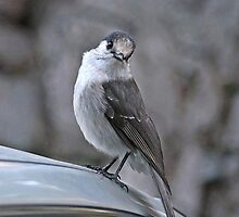 Gray Jay by Rhonda R Clements