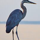 Blue Heron by BeachBumPics