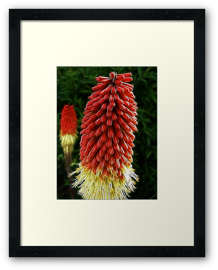 Red Hot Poker by SteveHphotos