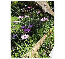 African Daisies in the Fence-row Poster