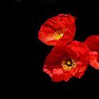 Poppies Peeking Out by heatherfriedman