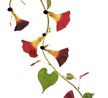 Kathie McCurdy Pressed Flowers Morning Glory Vine by Kathie McCurdy