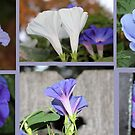 Morning Glories by aprilann