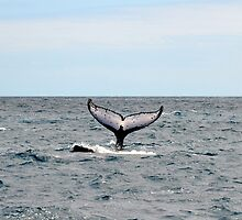 Hervey Bay Whale Watching by KeepsakesPhotography Michael Rowley