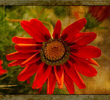 Red Velvet African Daisy #2 by Elaine Teague