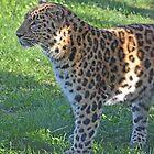 Amur leopard by bobbykim666