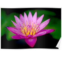 Pinky Waterlily Poster