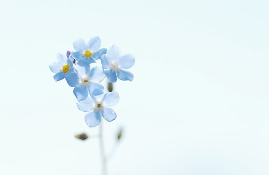 Forget-Me-Not by pseth