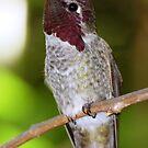 Anna's Hummingbird N2 by loiteke