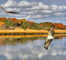 Osprey Sanctuary by Kathy Baccari