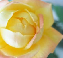 Yellow Rose by Keashav Chawla