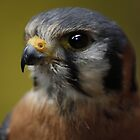 Small is Beautifull - American Kestrel  by Daisy-May
