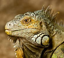 Iguana by RNicholas