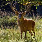 Red Deer Stag by Keld Bach