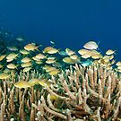 School of fish on coral reef by Stephen Colquitt
