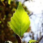 Sunning Silver Birch Leaf  by Guyzimij