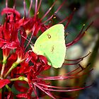 Yellow Butterfly  on a Red Spider Lily by BamaBruce69