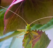 Bush Cricket by MikeSquires