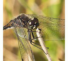 Black Darter Dragonfly Photographic Print