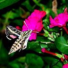 Moth Feeding on Pink Flowers by BamaBruce69