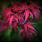 Autumn Colours - Maple  by naturelover