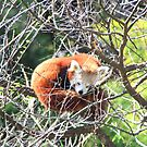 Red Panda by Asoka