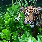 Sumatran Tiger by Colin Shepherd