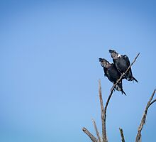 Black-naped ravens by nathanshanksAUS
