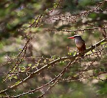Grey-headed Kingfisher in Tanzania by nathanshanksAUS