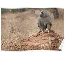 King baboon.  Poster