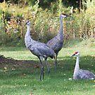 Sandhill Crane Family ~ by Renee Blake