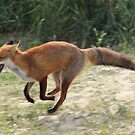 Red Fox running  by DutchLumix