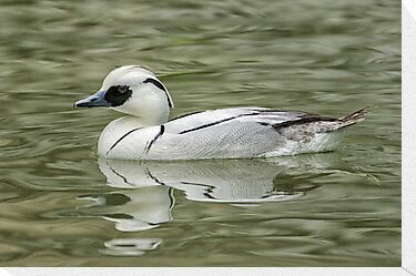 A smew by Daniel  Parent