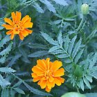 Tagetes by Kelly Jacobi