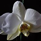 Angelic Orchid by Penny Rinker