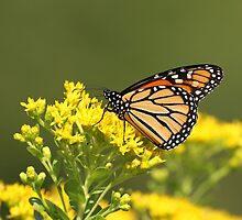 Autumn Monarch 2 by Gregg Williams