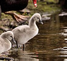 Black Swan Cygnets by mosaicavenues