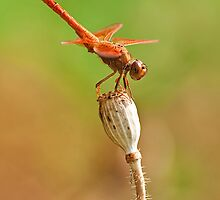 Dragonfly at Rest by Abhishek Shukla